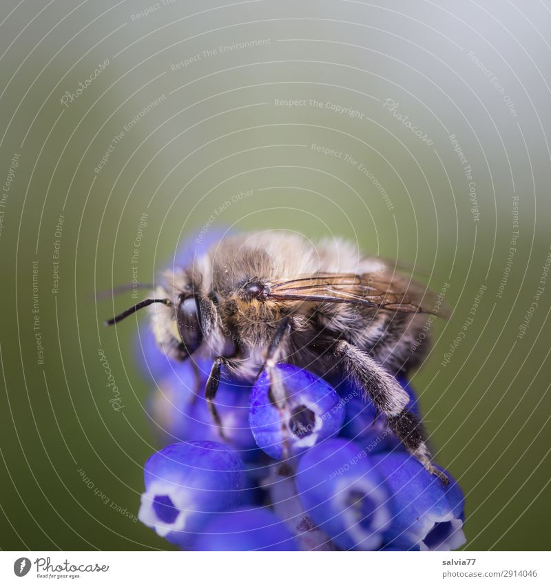 furry wild bee Environment Nature Spring Plant Flower Blossom Muscari Spring flower Garden Animal Wild animal Bee Insect 1 Blossoming Fragrance To hold on