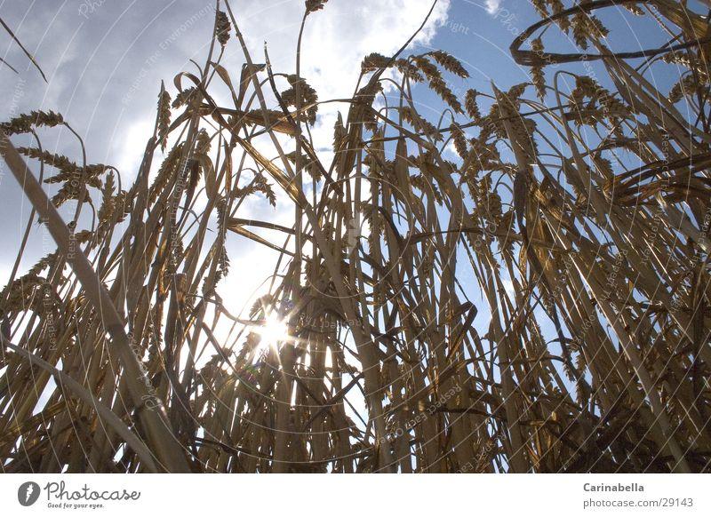 wheat Wheat Clouds Back-light Ear of corn Grain Sun Sky Nature