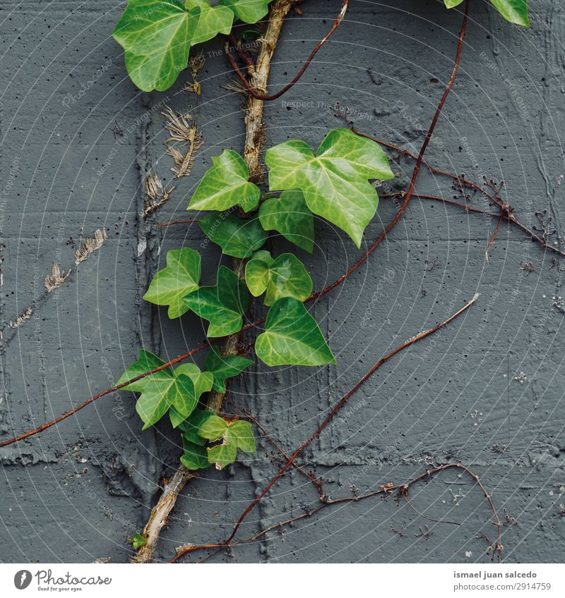 green plant leaves on the wall Nature Summer Plant Green Leaf Winter Autumn Wall (building) Spring Garden Decoration Fresh Beauty Photography Consistency