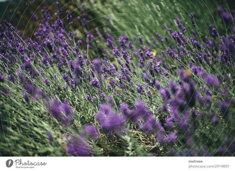 L A V E N D E E L Flowers Herbs and spices Lavender Lifestyle Elegant Style Nature Sunlight Summer Beautiful weather Plant Bushes Blossom Lavender field Park