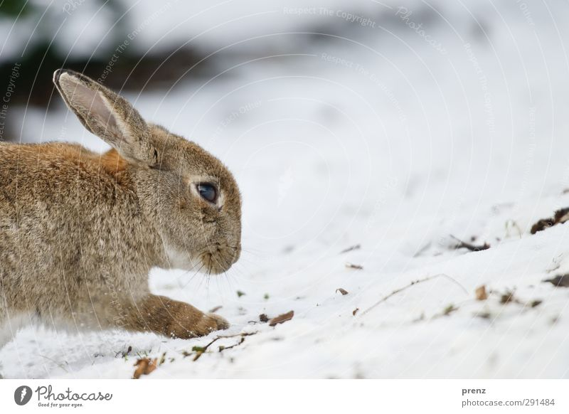 rabbit Environment Nature Animal Winter Wild animal 1 Brown Gray White Hare & Rabbit & Bunny Snow Colour photo Exterior shot Deserted Copy Space right Day