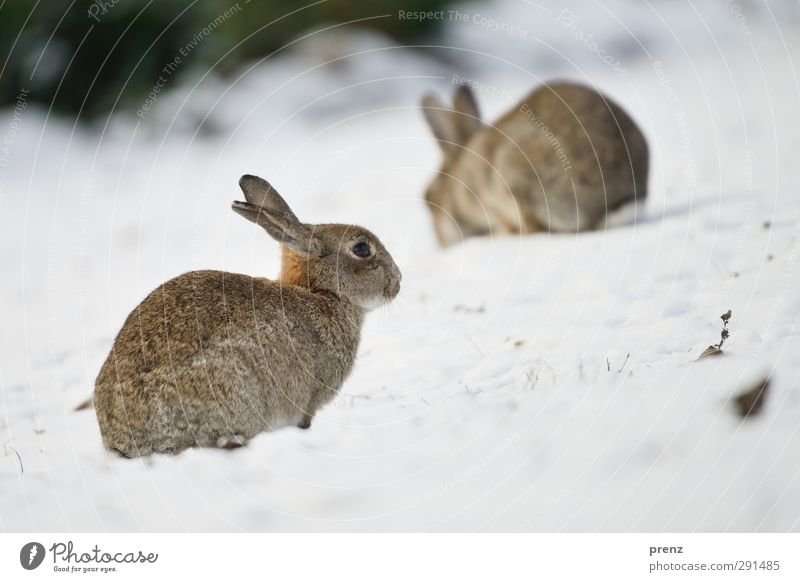 rabbits Environment Nature Animal Wild animal 2 Brown Gray Hare & Rabbit & Bunny Winter Colour photo Exterior shot Deserted Copy Space right Copy Space bottom