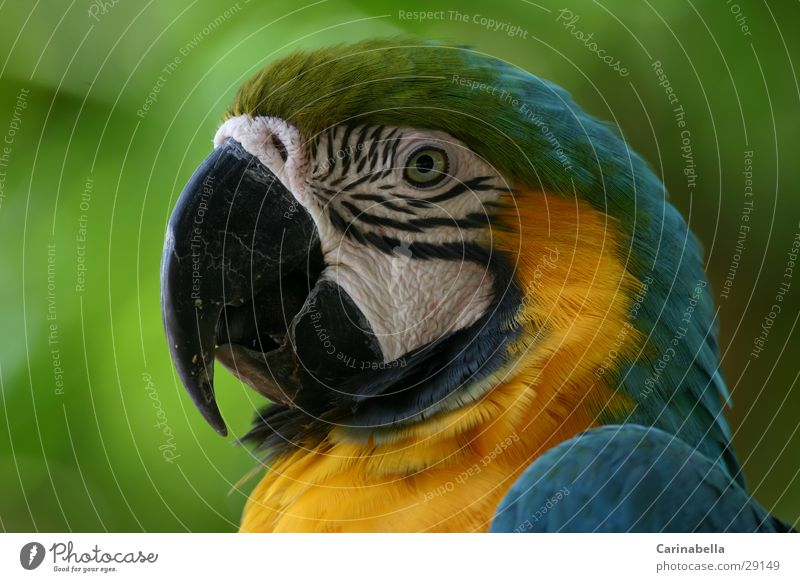 mamagei Macaw Parrots Beak Bird Green Multicoloured Animal Venezuela Bushes Wilderness
