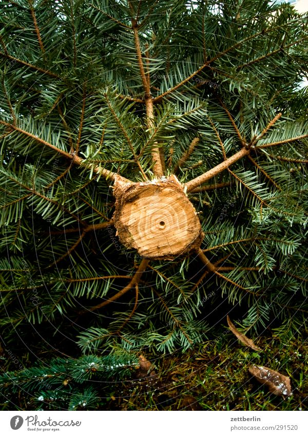 Christmas tree (from below) sawn off Old Throw away Tree Tree trunk Biogradable waste Worm's-eye view Lie Trash Saw wallroth Twig Wood Branch Fir tree Spruce