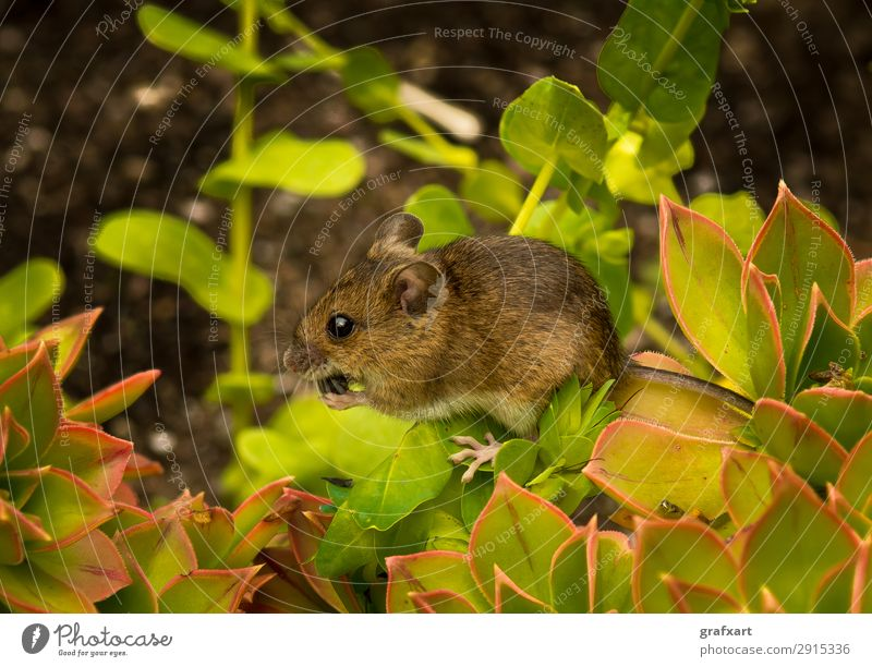 Closeup Of A Cute Little Mouse With Brown Fur Sitting On Plant With Green Leaves And Eats A Seed alert animal anxious attentive background biodiversity brave