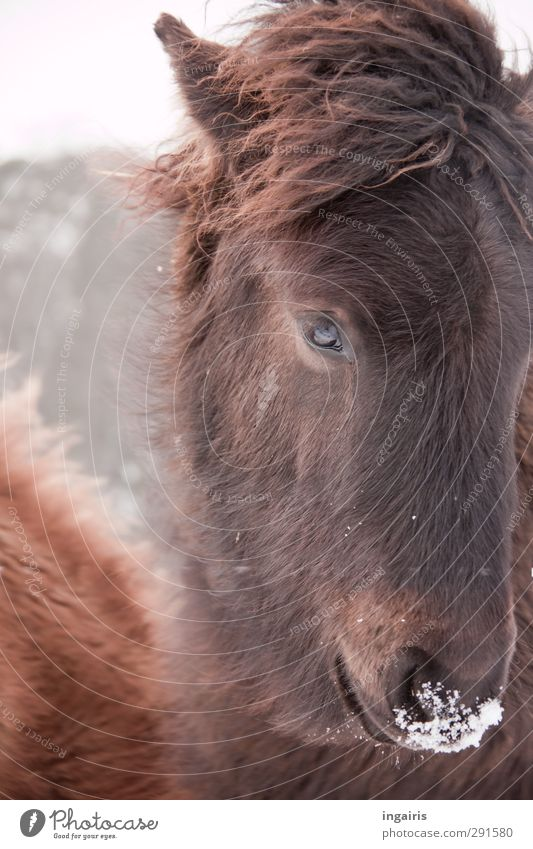 Icelandic icy nose Ride Nature Animal Sky Frost Snow Farm animal Horse Animal face Pelt Icelander Iceland Pony Foal 1 Observe Looking Friendliness Cuddly Cute