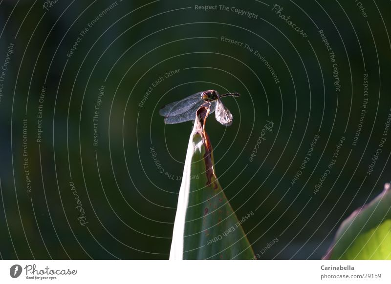 leaf tip Animal Dragonfly Plant Insect Transport Wing