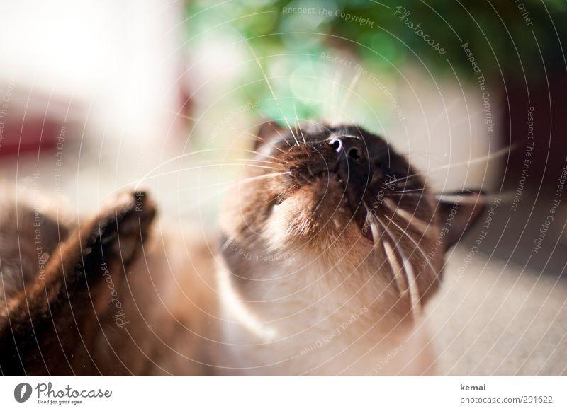 towards the sun Animal Pet Cat Animal face Pelt Nose Whisker nostrils Carthusian houses 1 To enjoy Lie Brown Contentment Joie de vivre (Vitality)