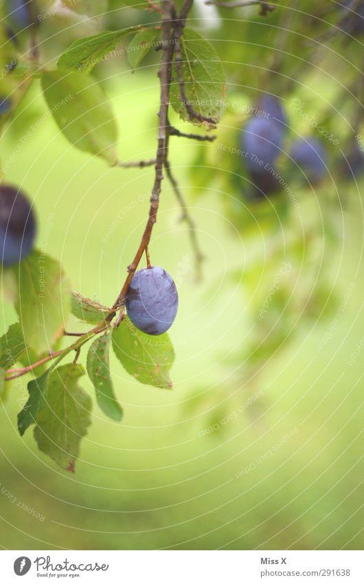 Summer Tree Autumn Fruit Food Nutrition Sweet Delicious Organic produce Plum Plum tree