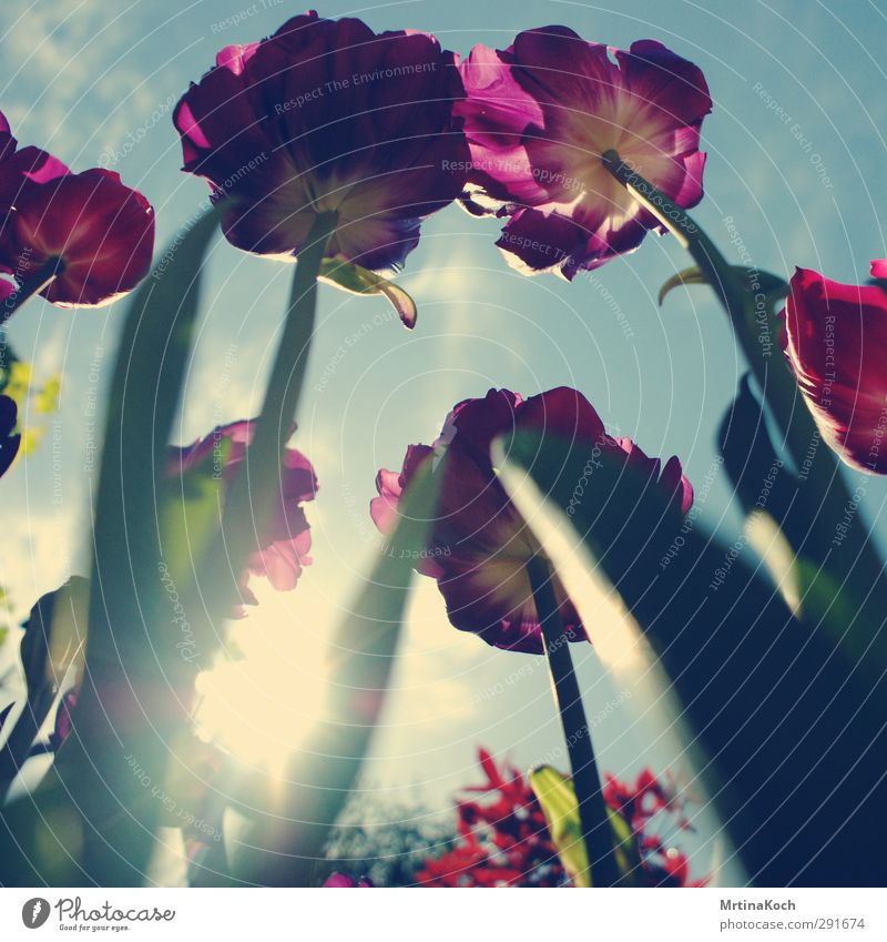 cmyk. Environment Nature Plant Earth Sky Clouds Beautiful weather Flower Tulip Leaf Blossom Bud Tulip field Tulip bud Spring Summery Fresh Violet Yellow Green