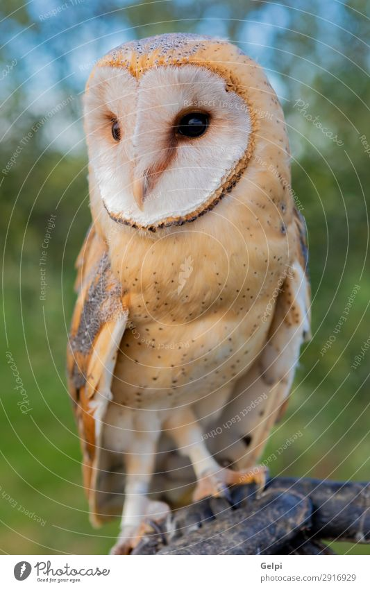 Portrait of white owl Beautiful Face Nature Animal Wild animal Bird Heart Observe Natural White Owl wildlife predator raptor alba barn avian perched tyto