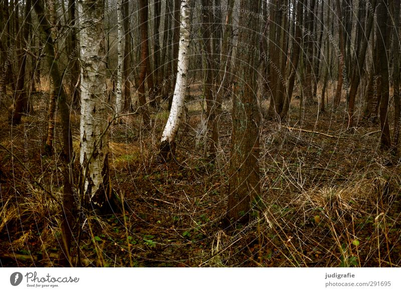 forest Environment Nature Landscape Plant Tree Grass Birch tree Forest Dark Natural Gloomy Brown Colour photo Subdued colour Exterior shot Deserted