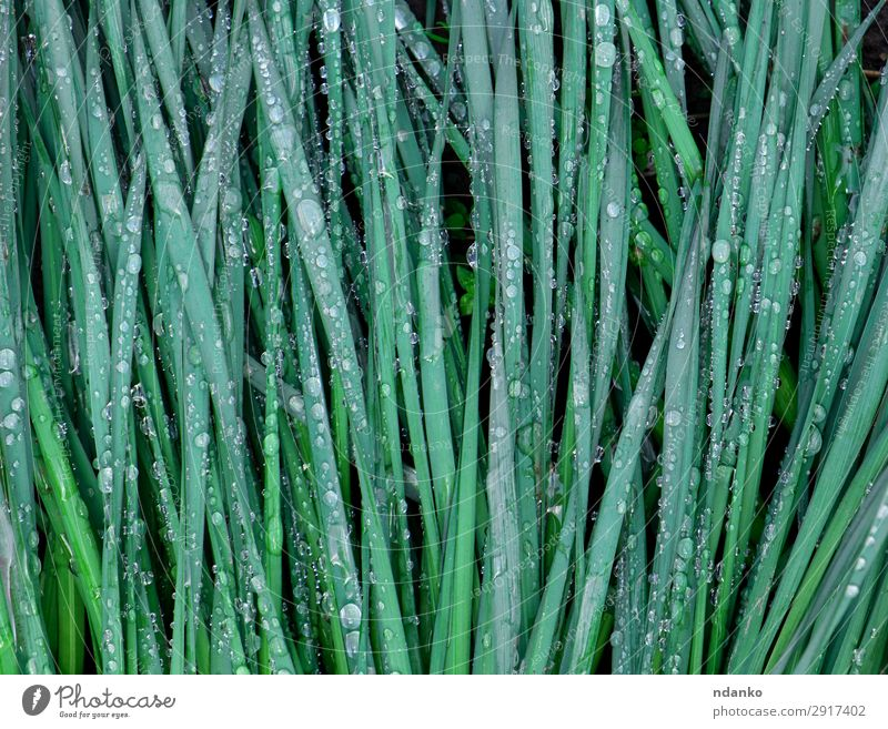 green leaves of daffodils in raindrops Plant Water Spring Rain Flower Leaf Drop Growth Fresh Long Natural Green Seasons narcissus stem Transparent Colour photo