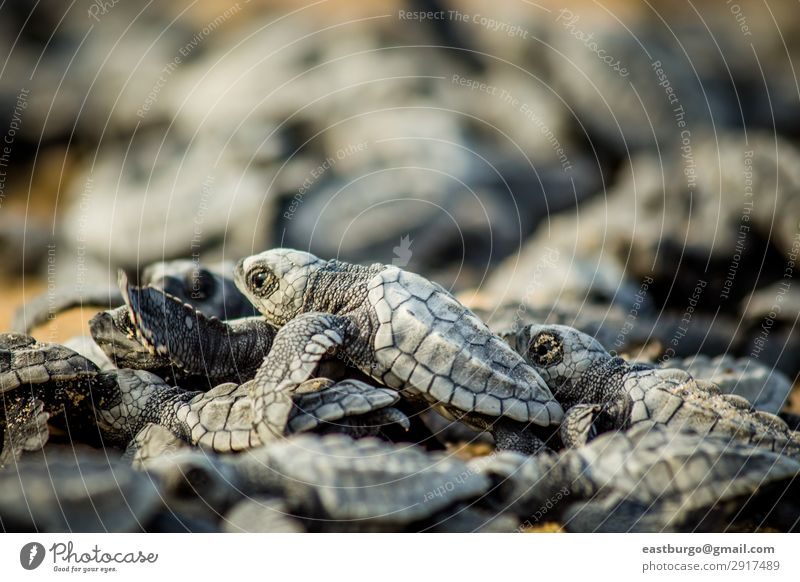 Baby sea turtles struggle for survival after hatching in Mexico Beach Ocean Nature Animal Sand Small Wild Chaos animals animals reptile baja baja peninsula