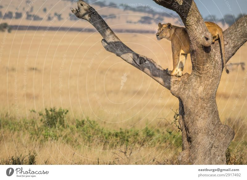 A female lion stands watch in a tree Cat Nature Landscape Animal Adults Yellow Grass Tourism Copy Space Wild Park Gold Dangerous Africa Mammal Pride