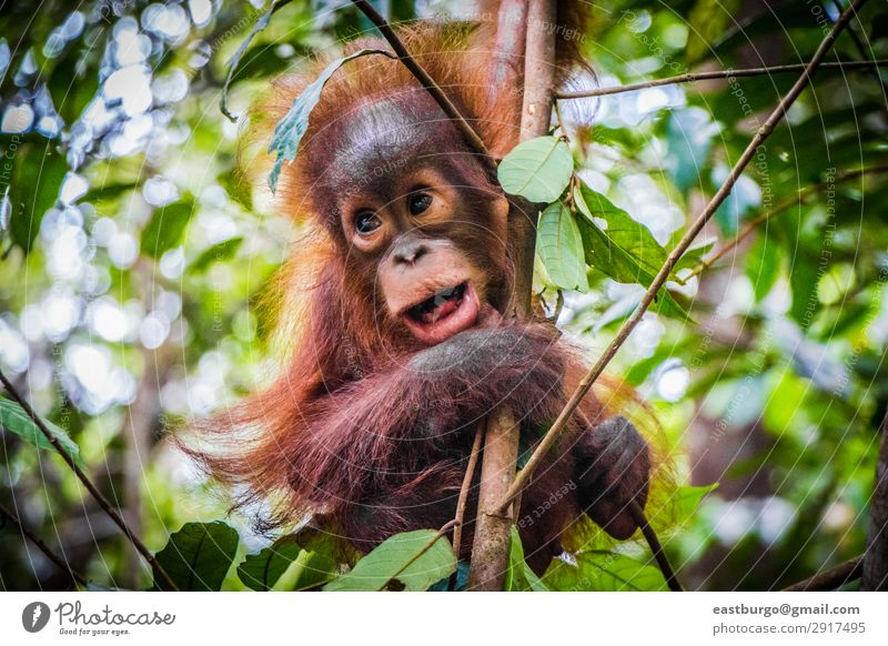World's cutest baby orangutan hangs with mouth open Vacation & Travel Child Baby Infancy Nature Animal Tree Park Forest Virgin forest Fur coat Baby animal