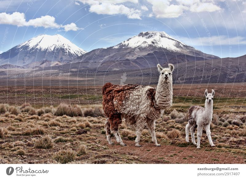 A bably llama and mother on the Bolivian Altiplano Vacation & Travel Tourism Snow Mountain Baby Mother Adults Family & Relations Nature Landscape Animal Meadow