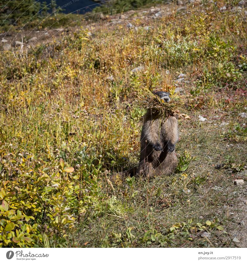 are you looking Environment Nature Summer Climate Climate change Meadow Animal Wild animal Marmot Rodent 1 Love of animals Diligent Accumulate Feed To feed
