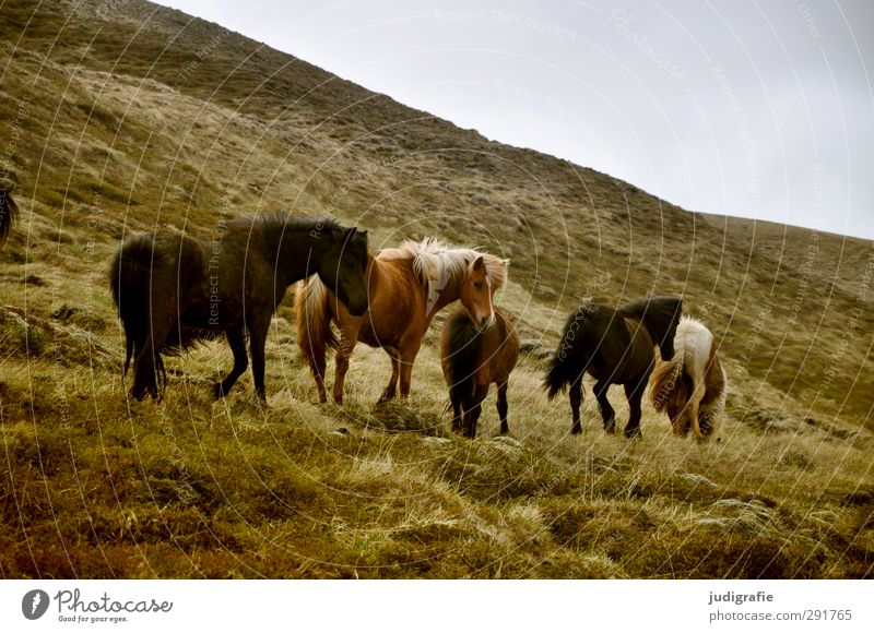 Nature Beautiful Animal Landscape Environment Mountain Grass Brown Natural Wild Wild animal Walking Group of animals Horse Hill Iceland