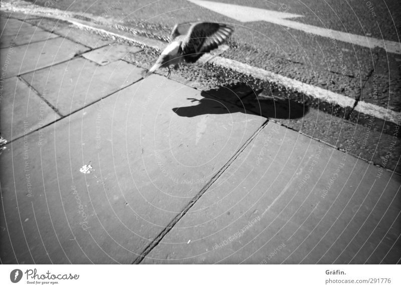 She is like a homing pigeon Street Wild animal Bird Pigeon 1 Animal Discover Flying Town Gray Black White Environment Lanes & trails Target Black & white photo