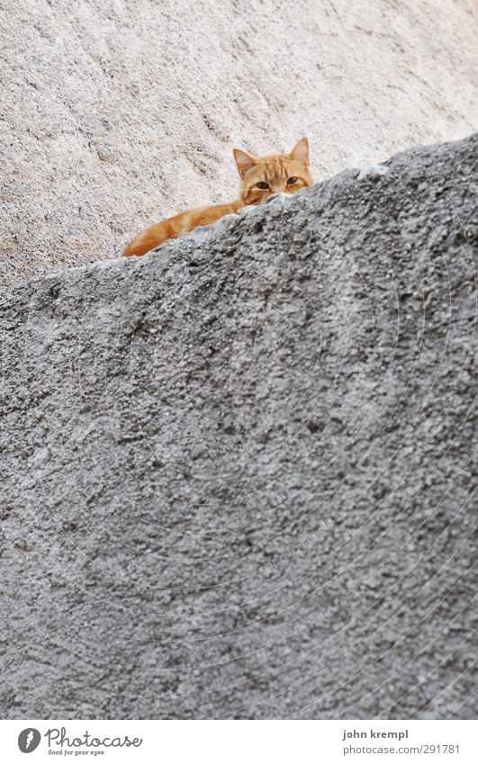 Skew cat Wall (barrier) Wall (building) Pet Cat 1 Animal Lie Looking Sleep Friendliness Cuddly Orange Contentment Safety Protection Love of animals Attentive