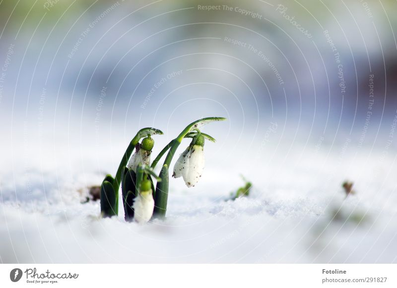 little bell Environment Nature Plant Elements Water Winter Ice Frost Snow Flower Blossom Garden Park Cool (slang) Bright Cold Natural Green White