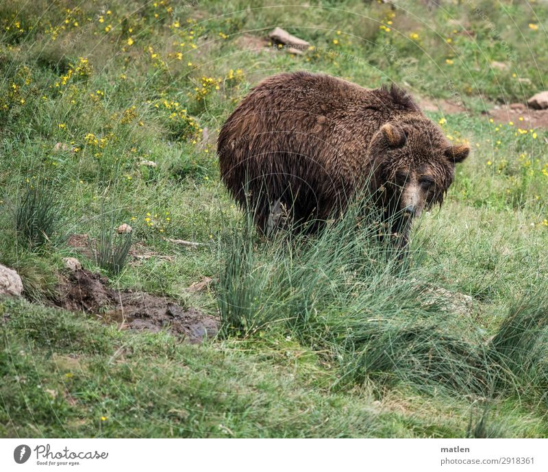 little bear Plant Grass Meadow Animal Animal face 1 Observe Brown Green Bear Colour photo Exterior shot Copy Space left Copy Space right Copy Space top