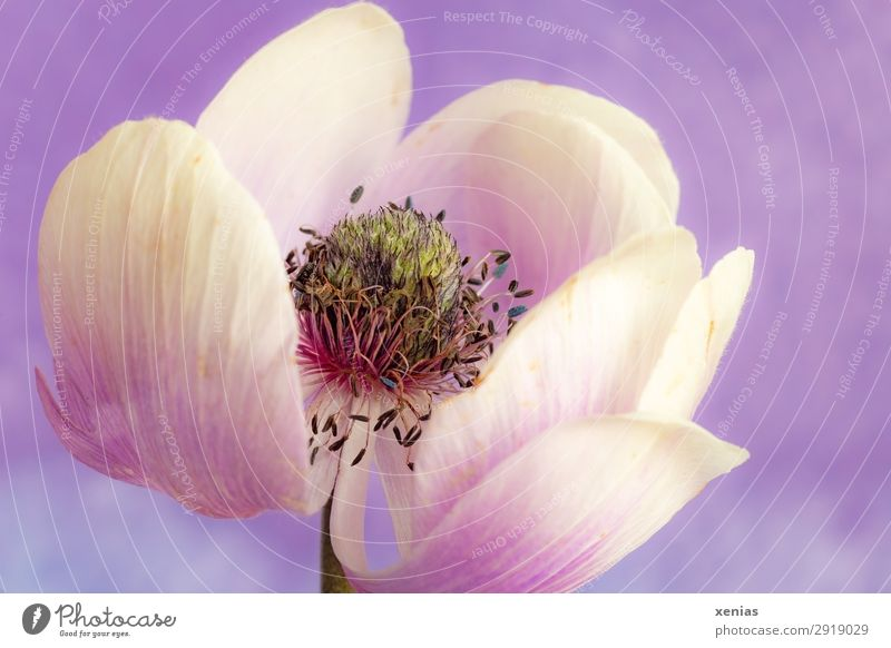 anemone flower, white, violet, soon withered Spring Summer Flower Blossom Anemone Blossoming Old Violet White Delicate Limp Colour photo Studio shot Close-up