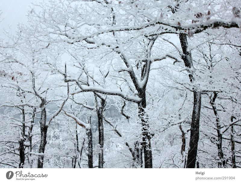 snowy Environment Nature Landscape Plant Winter Ice Frost Snow Tree Tree trunk Branch Forest Mountain Harz Esthetic Authentic Exceptional Simple Cold Natural