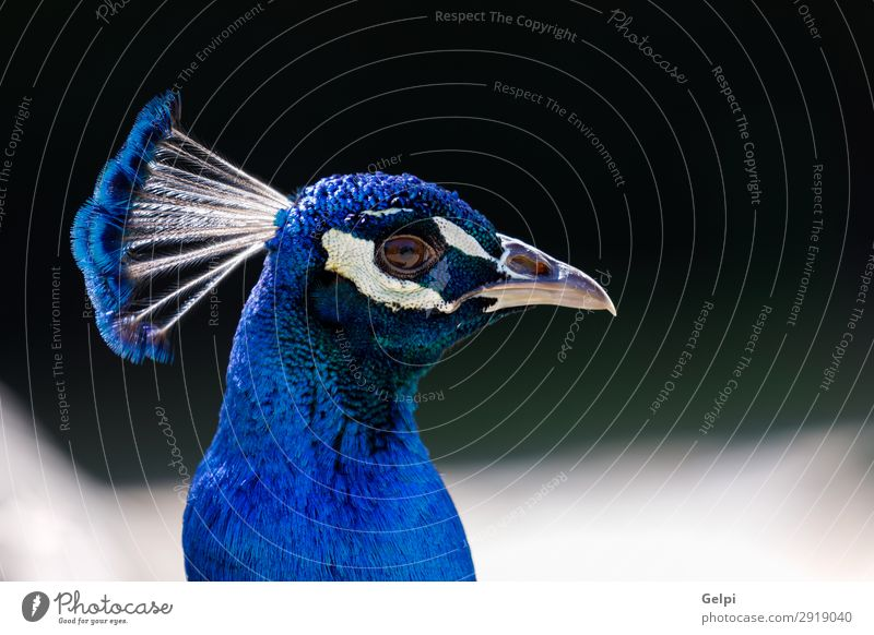 Amazing portrait of a blue peacock with a beautiful color Elegant Beautiful Man Adults Exhibition Zoo Nature Animal Park Bird Bright Natural Blue Green