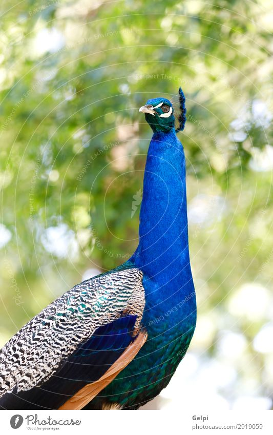 Amazing portrait of a peacock Elegant Beautiful Man Adults Exhibition Zoo Nature Animal Park Bird Bright Natural Blue Green Turquoise Colour colorful wildlife