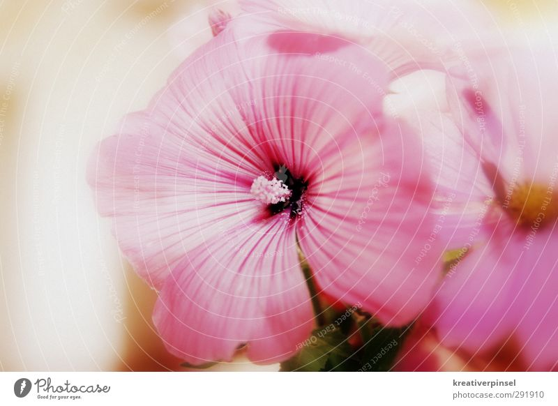 Rosali Plant Summer Flower Blossom Blossoming Yellow Green Violet Pink Colour photo Close-up Day Flash photo Light Shallow depth of field Central perspective