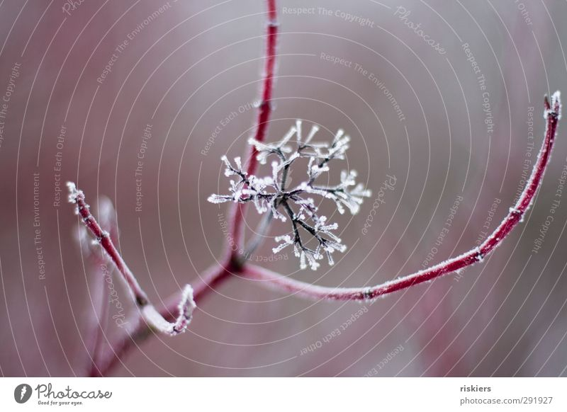 Nature Plant Red Winter Calm Environment Cold Blossom Ice Bushes Transience Frozen