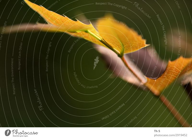 leaf Nature Plant Spring Autumn Leaf Blossoming Faded Esthetic Authentic Simple Elegant Natural Brown Yellow Green Serene Patient Calm Uniqueness Colour photo