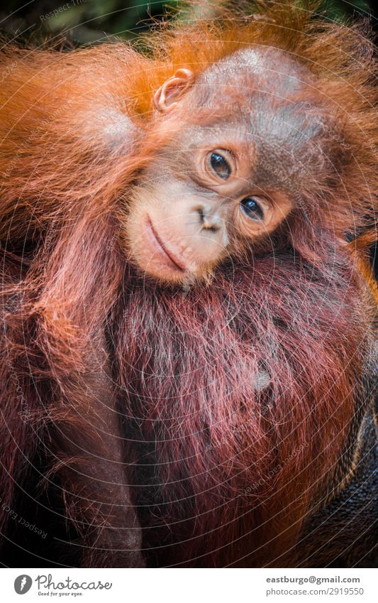 World's cutest baby orangutan snuggles with Mom in Borneo Vacation & Travel Child Baby Mother Adults Infancy Nature Animal Tree Park Forest Virgin forest