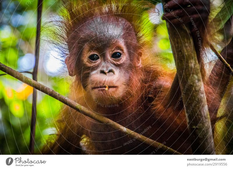 World's cutest baby orangutan looks into camera in Borneo Vacation & Travel Child Baby Infancy Nature Animal Tree Park Forest Virgin forest Fur coat Baby animal