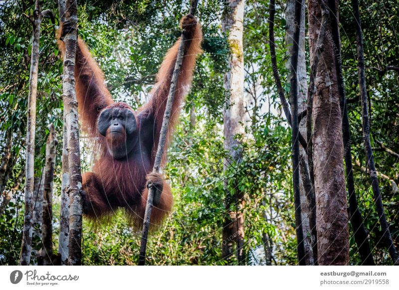 A male orangutan lounges in a tree Nature Man Red Tree Animal Forest Adults Copy Space Wild Park Island Asia Mammal Virgin forest Monkeys Tropical