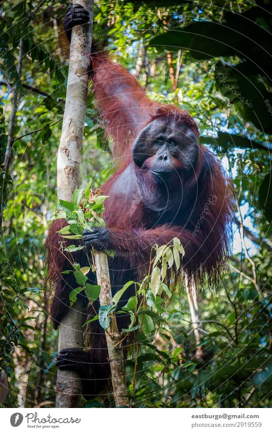 A magestic male orangutan, hanging in a tree, looks at the lens Island Man Adults Nature Animal Tree Park Forest Virgin forest To swing Wild Red Apes Asia