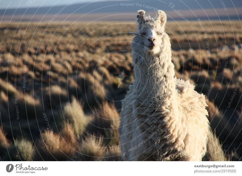A Lama looking into the lens in the Altiplano in Bolivia Vacation & Travel Nature Beautiful White Landscape Animal Mountain Meadow Tourism Copy Space Wild Gold