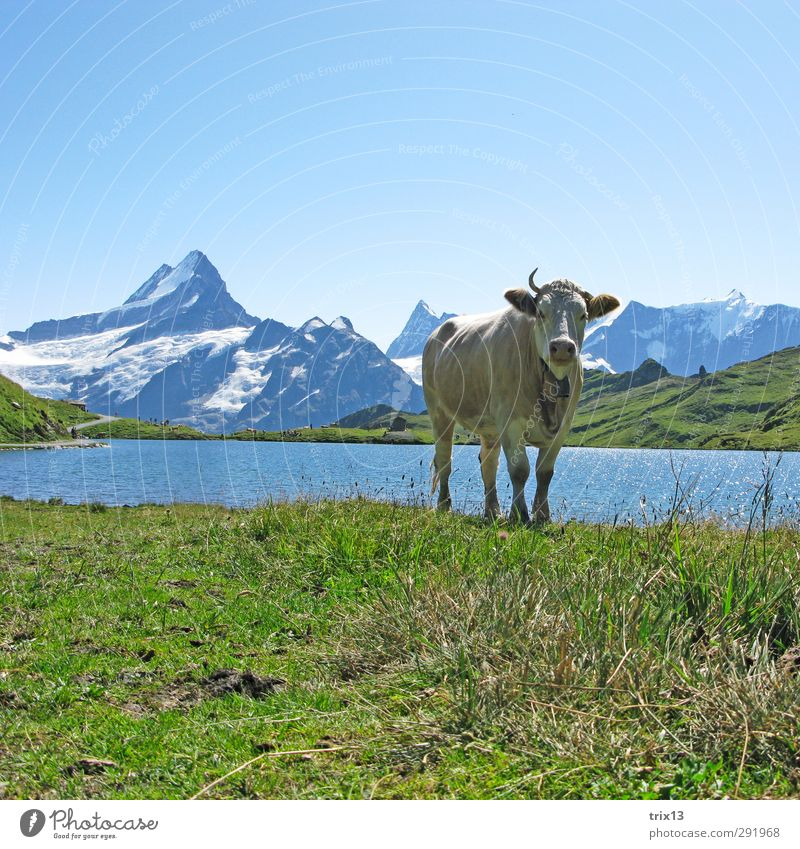 Sky Green Water Animal Meadow Mountain Cow Antlers Farm animal Grindelwald Schreckhorn Bach alps lake