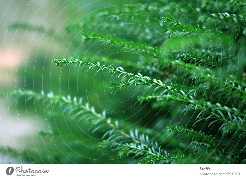 The greenery from the hedge green stuff Hedge taxus Yew hedge plant Foliage plant Plantlet yew needles conifer branch coniferous branches coniferous wood Bushes