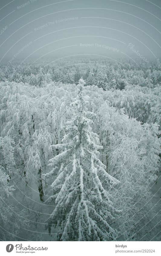 low-altitude Nature Winter Weather Fog Ice Frost Snow Forest Tall Cold Above Original Positive Beautiful Calm Peace Idyll Climate Winter forest Treetop Fir tree