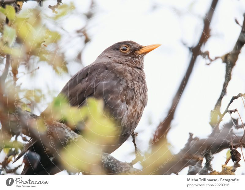 Blackbird in a tree Nature Animal Sky Sunlight Beautiful weather Tree Leaf Twigs and branches Wild animal Bird Animal face Wing Beak Eyes Feather Plumed 1
