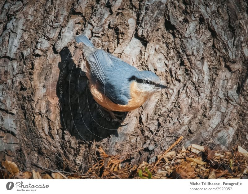 Nuthatch on a tree trunk Nature Animal Sunlight Beautiful weather Tree Tree trunk Tree bark Wild animal Bird Animal face Wing Claw Eurasian nuthatch Beak Eyes