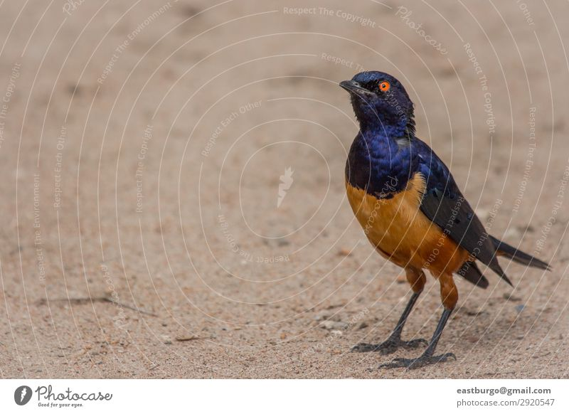 A colorful Superb Starling in Tanzania Beautiful Vacation & Travel Adventure Safari Environment Nature Animal Tree Grass Park Wild animal Bird Bright Blue
