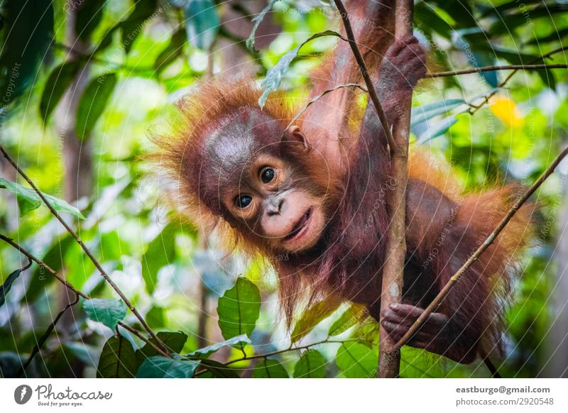 World's cutest baby orangutan hangs in a tree Vacation & Travel Child Baby Infancy Nature Animal Tree Park Forest Virgin forest Fur coat Baby animal