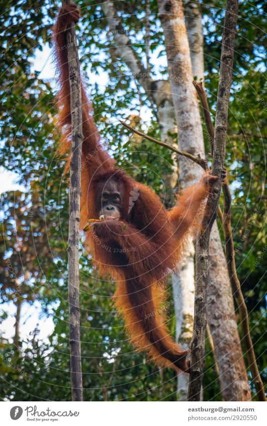 An oragutan eats bananas in a tree in Borneo Island Nature Animal Rain Tree Park Forest Virgin forest To swing Wild Red animals Apes Asia Banana borneo