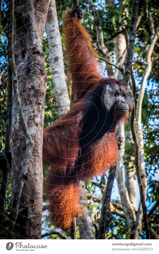 A male orangutan, stands watch in a tree Island Man Adults Nature Animal Rain Tree Park Forest Virgin forest To swing Wild Red animals Apes Asia borneo