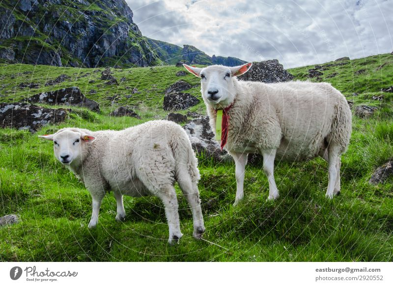 Two sheep stare at camera on the Island of Lofoton in Norway Beautiful Vacation & Travel Tourism Ocean Mountain Nature Landscape Animal Sky Grass Meadow To feed