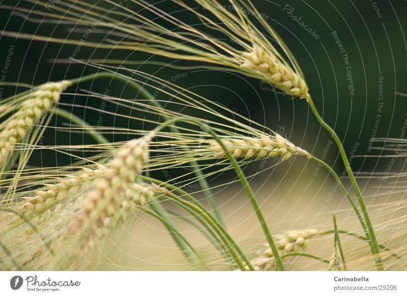 Barley II Ear of corn Plant Field Grain